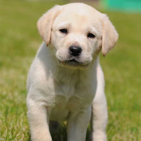 adopt a guide dog puppy
